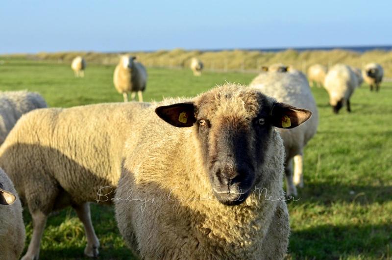 Schafe Deich (2)